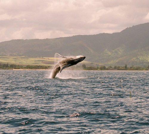 whale_breech
